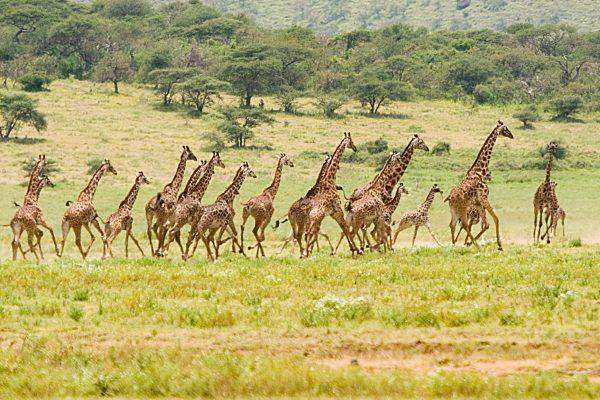 girafas-corriendo
