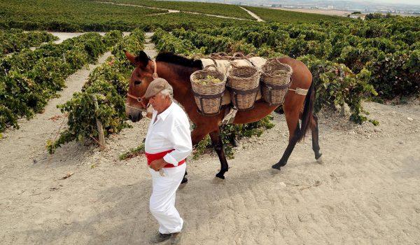 "Pisa tradicional de la uva organizado por Grupo Garvey en la bodega ""El Corregidor"""